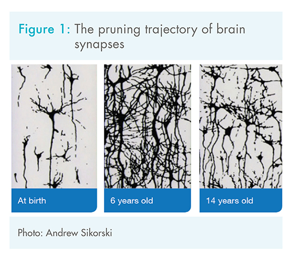 Brain development Figure - The pruning trajectory of the brain
