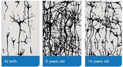 Image of brain synapses from Birth to 6 years old to 14 years old